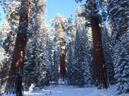 General Sherman Tree With Snow